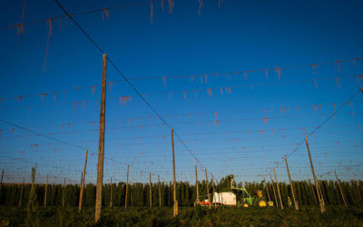Yakima Chief Hops Harvest 2020