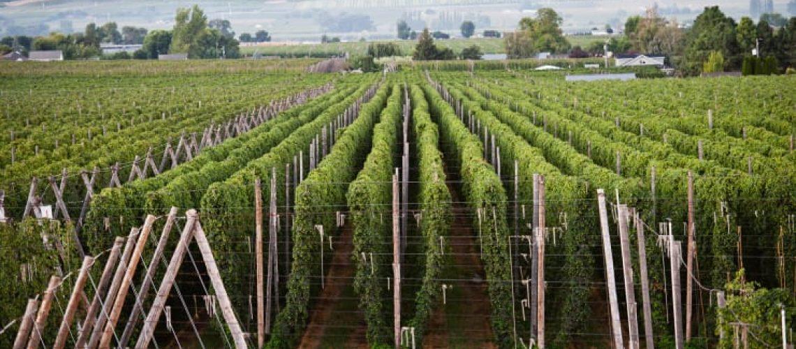 Hop Farming For Beer