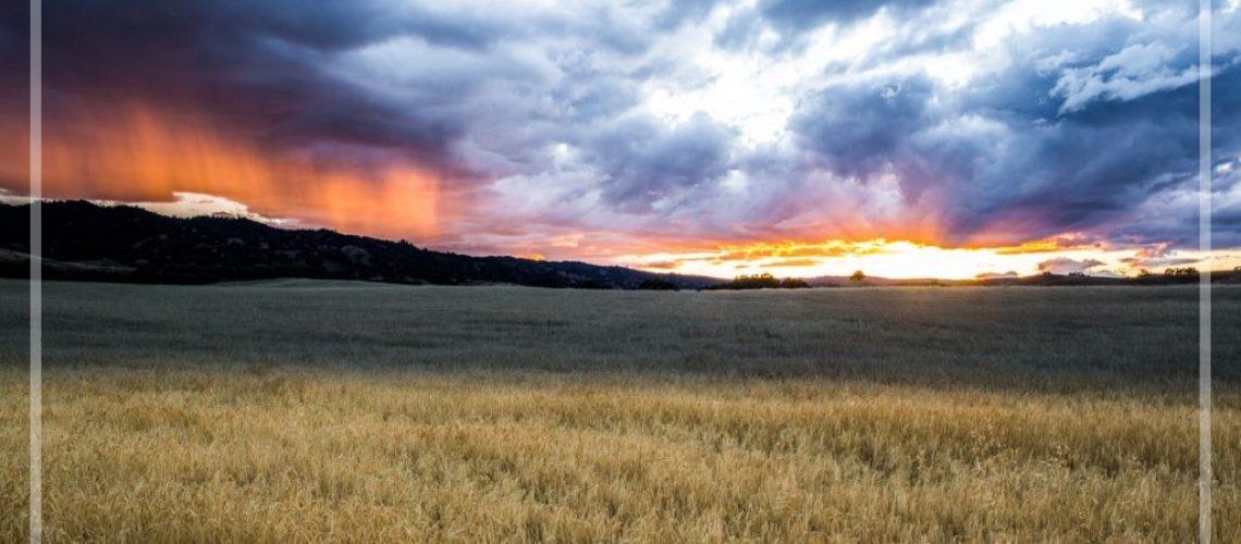 Field of Barley-