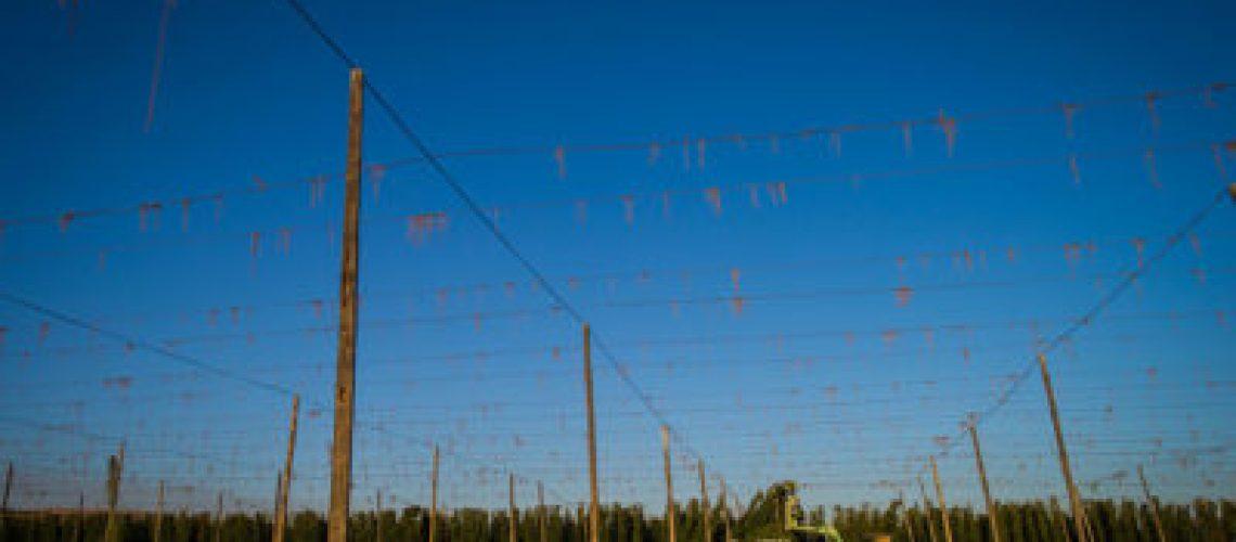Yakima Chief Hops Harvest 2020
